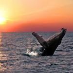 Baleine au coucher de soleil à la Réunion