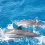 Dauphins en balade dans l'océan indien à la Réunion