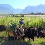 Promenade en charrette boeufs à la Réunion